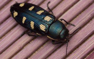 Buprestis octoguttata · aštuoniataškis blizgiavabalis 0436
