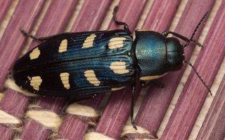 Buprestis octoguttata · aštuoniataškis blizgiavabalis 0437