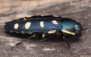 Buprestis octoguttata · aštuoniataškis blizgiavabalis 0440