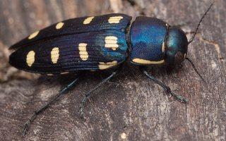 Buprestis octoguttata · aštuoniataškis blizgiavabalis 0445