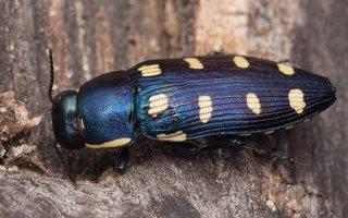 Buprestis octoguttata · aštuoniataškis blizgiavabalis 0447
