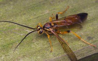 Hymenoptera · plėviasparnis 0463