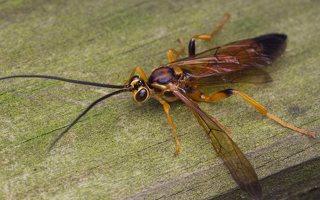 Hymenoptera · plėviasparnis 0464