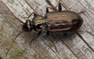 Loricera pilicornis · šeriaūsis žygis 0478