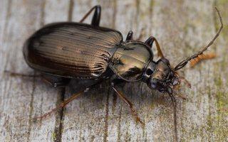 Loricera pilicornis · šeriaūsis žygis 0479