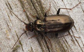 Loricera pilicornis · šeriaūsis žygis 0481
