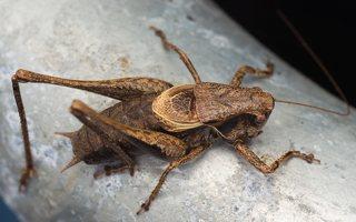 Pholidoptera griseoaptera male · keršasis žiogas ♂ 0484