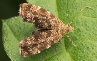 Anthophila fabriciana · dilgėlinė lapsukinė kandis 0486