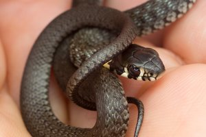 Natrix natrix juvenile · geltonskruostis žaltys, jauniklis 0497