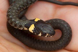 Natrix natrix juvenile · geltonskruostis žaltys, jauniklis 0500