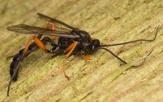 Ichneumonidae · vytis 0520