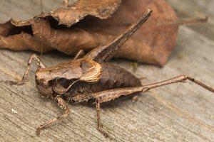 Pholidoptera griseoaptera male · keršasis žiogas ♂ 0524