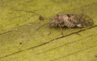 Psocidae · tikrieji šiengraužiai