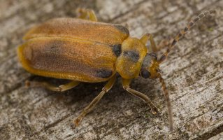 Galerucella lineola · guobinis aksominukas 0546