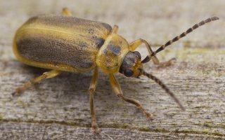 Galerucella lineola · guobinis aksominukas 0551