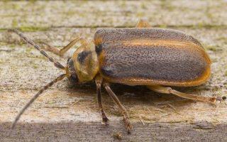 Galerucella lineola · guobinis aksominukas 0555
