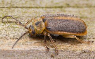 Galerucella lineola · guobinis aksominukas 0556