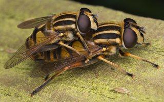 Helophilus pendulus mating · žiedmusė poruojasi 0570