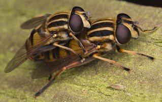 Helophilus pendulus mating · žiedmusė poruojasi 0571