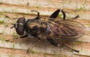 Chalcosyrphus nemorum female · žiedmusė ♀ 0578