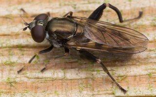 Chalcosyrphus nemorum female · žiedmusė ♀ 0579