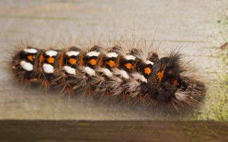 Acronicta rumicis caterpillar · rūgštyninis strėlinukas, vikšras 0592