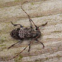 Acanthocinus griseus male · mažasis pušiagraužis ♂  0601