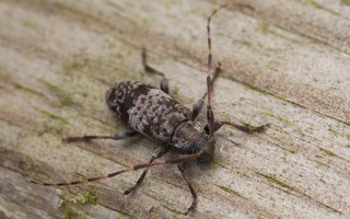 Acanthocinus griseus male · mažasis pušiagraužis ♂  0602