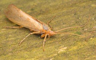 Limnephilus flavicornis · apsiuva 0620