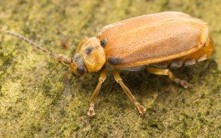 Galerucella lineola · guobinis aksominukas 0621