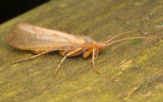Limnephilus flavicornis · apsiuva 0622