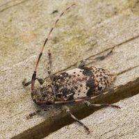 Acanthocinus griseus male · mažasis pušiagraužis ♂ 0626
