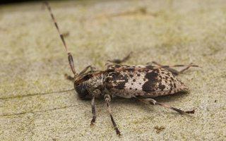 Acanthocinus griseus male · mažasis pušiagraužis ♂ 0627
