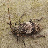 Acanthocinus griseus male · mažasis pušiagraužis ♂ 0628