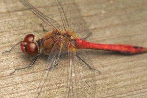 Sympetrum sanguineum male · kruvinoji skėtė ♂ 0639