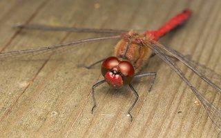 Sympetrum sanguineum male · kruvinoji skėtė ♂ 0640