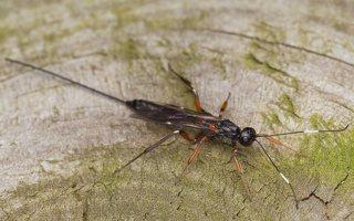 Ichneumonidae · vytis 0652