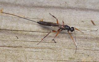 Ichneumonidae · vytis 0653
