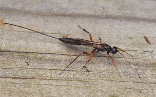 Ichneumonidae · vytis 0654