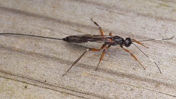Ichneumonidae · vytis 0655