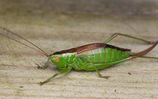 Conocephalus dorsalis · pelkinis smailiagalvis 0658