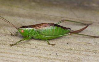 Conocephalus dorsalis · pelkinis smailiagalvis 0659