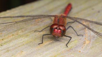 Sympetrum sanguineum male · kruvinoji skėtė ♂ 0662