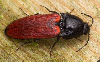 Ampedus sp. · kelmaspragšis 0670