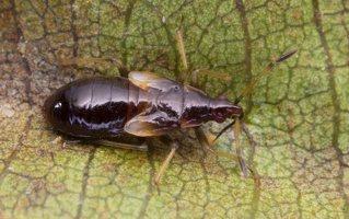 Anthocoris nemorum nymph · vaismedinė žiedblakė, nimfa 0674