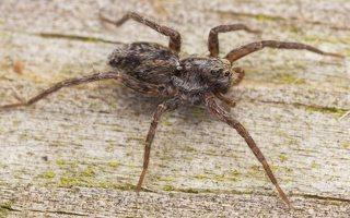 Lycosidae · plėšriavoris 0704