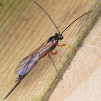 Ichneumonidae · vytis 0705