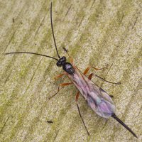 Ichneumonidae · vytis 0707