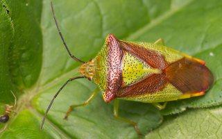 Acanthosoma haemorrhoidale · gudobelinė skydblakė 0766