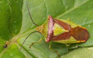 Acanthosoma haemorrhoidale · gudobelinė skydblakė 0767